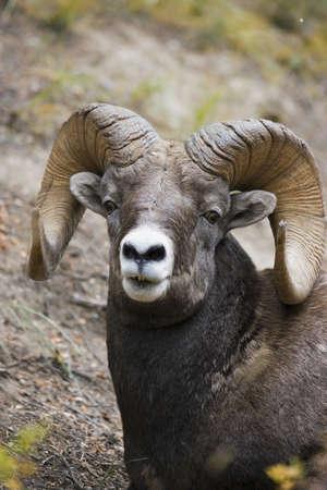 rocky mountain bighorn sheep: Rocky mountain bighorn sheep