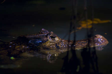spectacled: Spectacled Caiman Crocodile (Caiman crocodilus)   Stock Photo