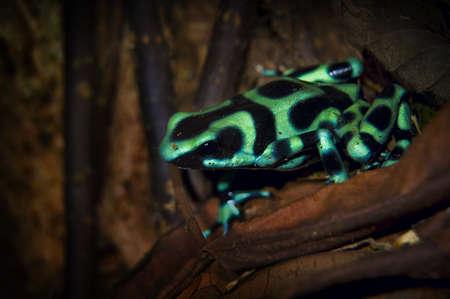 Black and green dart frog (Dendrobates auratus)
