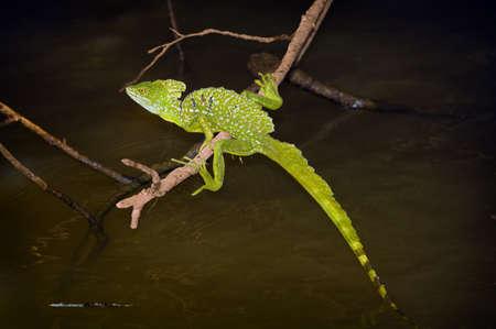 Emerald Basilisk (Basiliscus plumifrons)   photo