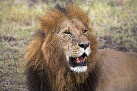 panthera: Ritratto di un leone, Masai Mara, in Kenya, Africa