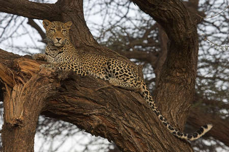 animals in the wild: African Leopard resting in a tree