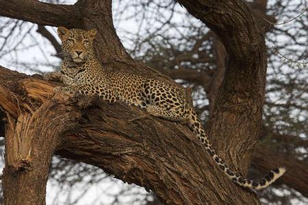 Afrikaanse Leopard rusten in een boom   Stockfoto