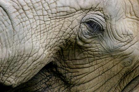 closeups: Elephant face Stock Photo