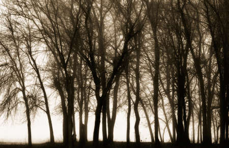 sepias: Silhouetted trees Stock Photo
