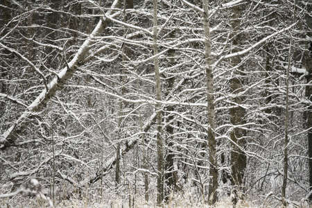fullframes: Snow covered branches