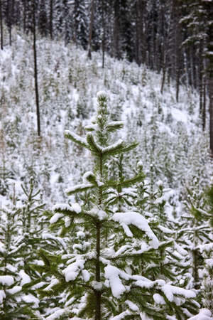 carson ganci: Snow covered forest   Stock Photo