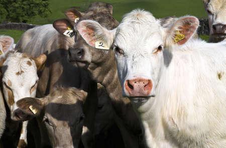 chris upton: Herd of cows, Derbyshire, England