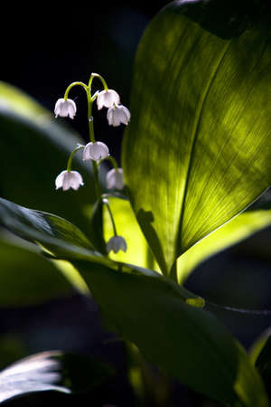 Lily of the valley flowers photo