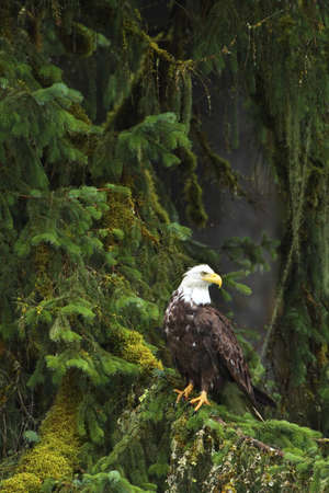 Eagle in the woods photo