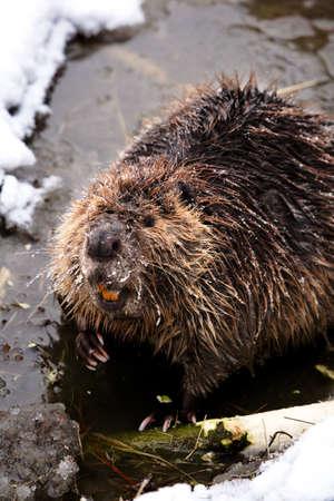 wildanimal: Beaver