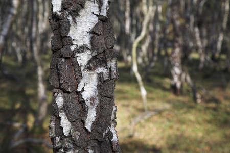 Silver birch trees   photo