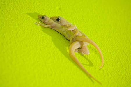 mated: Two Indo-Pacific Geckos(Hemidactylus garnotii) mating