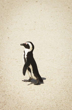 glubish: African Penguin at Boulders Beach,South Africa Stock Photo