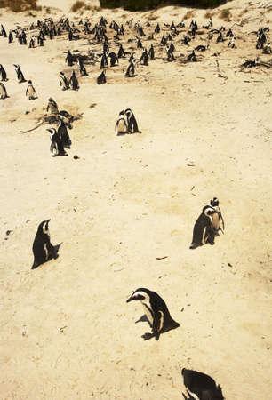 penguins on beach: Penguins on a beach