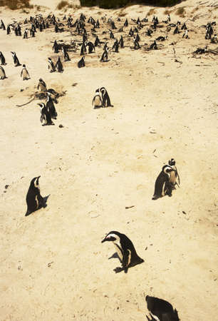south african birds: Pinguini su una spiaggia