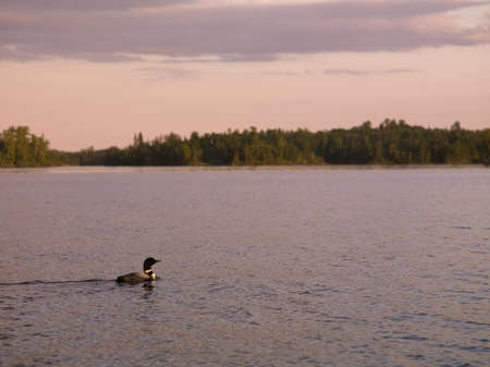 wildanimal: Loon (Diver) swimming in the water