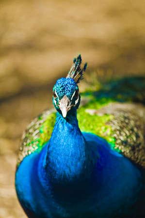 wildanimal: Indian Blue Peacock
