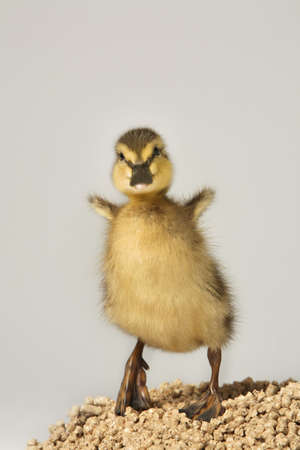 warkentin: Duckling standing on feed