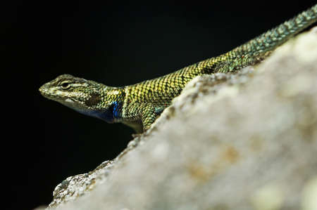 wildanimal: Spiny lizard (Sceloporus) Stock Photo