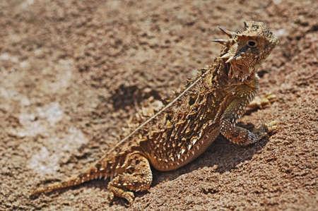 horned: Texas horned lizard, (Phrynosoma Cornutum), Texas, USA
