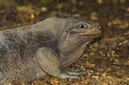 wildanimal: Virgin Islands rock iguana