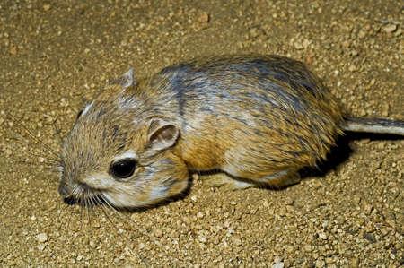 Merriams kangaroo rat photo
