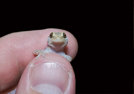 introduced: An introduced mediterranean gecko being held   Stock Photo