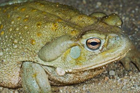 anuran: A Sonoran desert toad (Bufo alvarius)