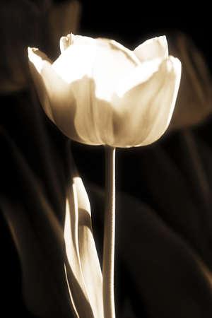 sepias: White tulip
