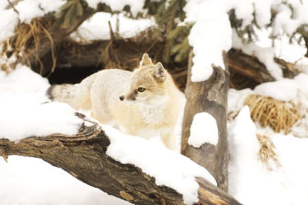 wildanimal: Fox in winter habitat