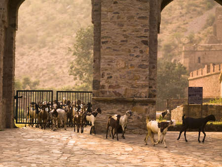 fatehpur: Goats in the abandoned city of Fatehpur, Rajasthan, India
