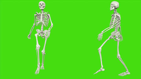 Skeleton walk on green screen. 3D rendering