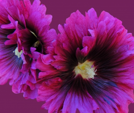 hollyhock: Burgandy Hollyhock