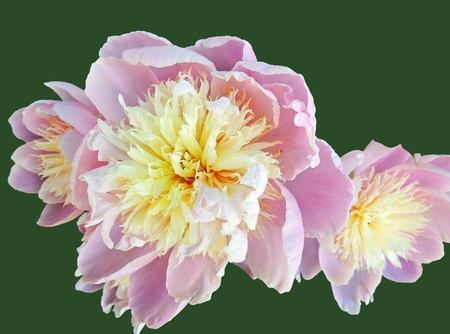dual: Dual Pink Peonies on Green Stock Photo