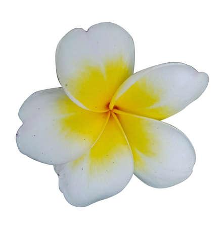 plumeria flower and white background