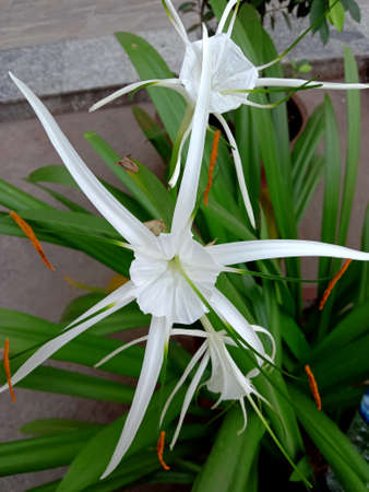beach spider lily flower and leaves or hymenocallis speciosa Stock fotó