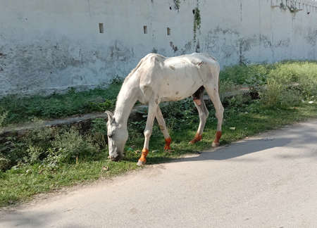 white horse eating green grass on road side