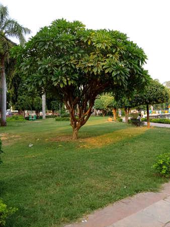 plumeria tree in the park