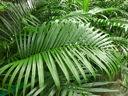 Indoor Palm leaves  and areaca palm Plants