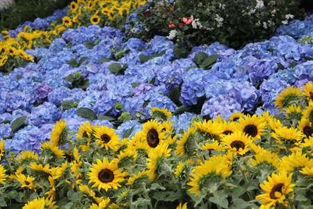 Sunflowers and Hydrangea