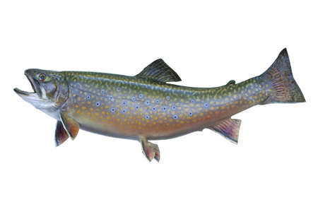 A speckled trout, also known as a brook trout, isolated on a white background Фото со стока