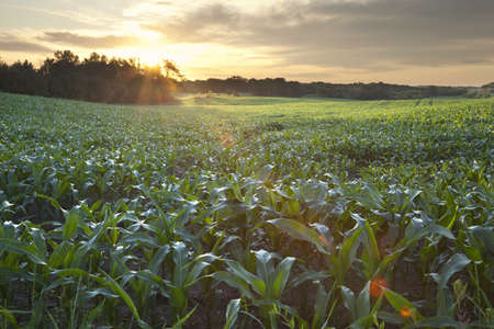 A field of young corn in Minnesota photographed at sunrise Stock Photo