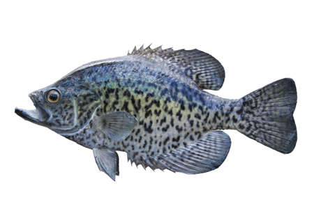 a freshwater fish: A black crappie isolated on a white background