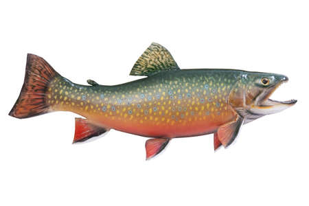 spawning: Un hombre de arroyo o trucha moteada de colores desove aislado en un fondo blanco