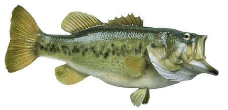 bass: A big largemouth bass isolated on white background