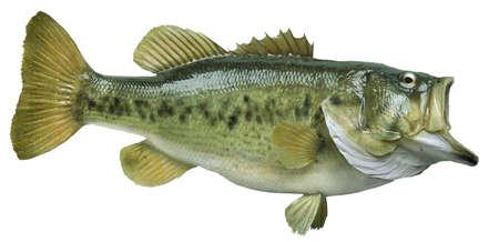 Ein großer Forellenbarschen isoliert auf weißem Hintergrund Standard-Bild - 17692134