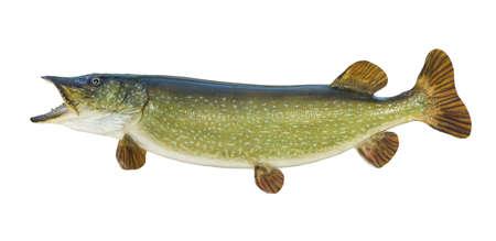Große Northern Pike auf einem weißen Hintergrund Standard-Bild - 17692125