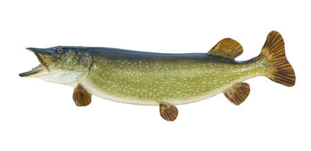 Large Northern Pike isolated on a white background