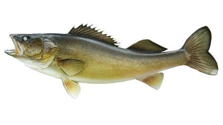 A big walleye isolated on a white background in profile view Stock Photo